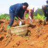 La famille de feu S.E Pierre Nkurunziza procède  à la récolte de pommes de terre à Rutanga.